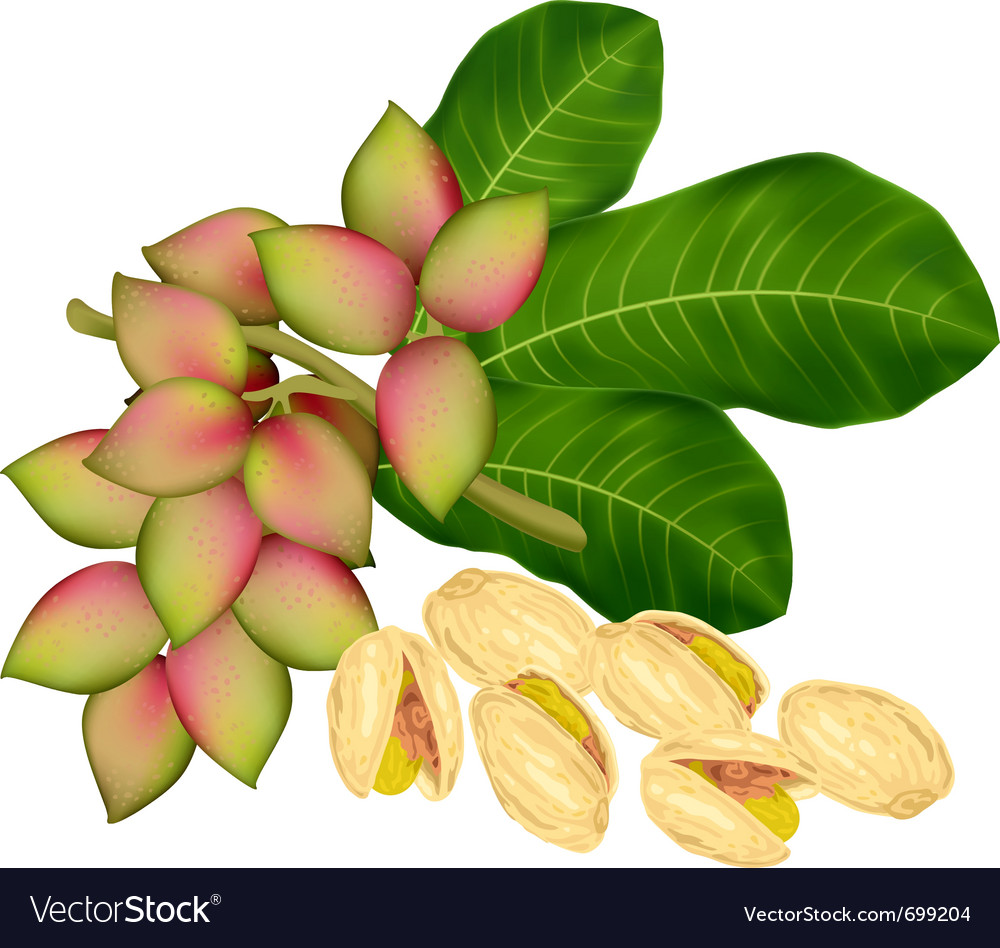 Pistachio twig vector | Price: 1 Credit (USD $1)