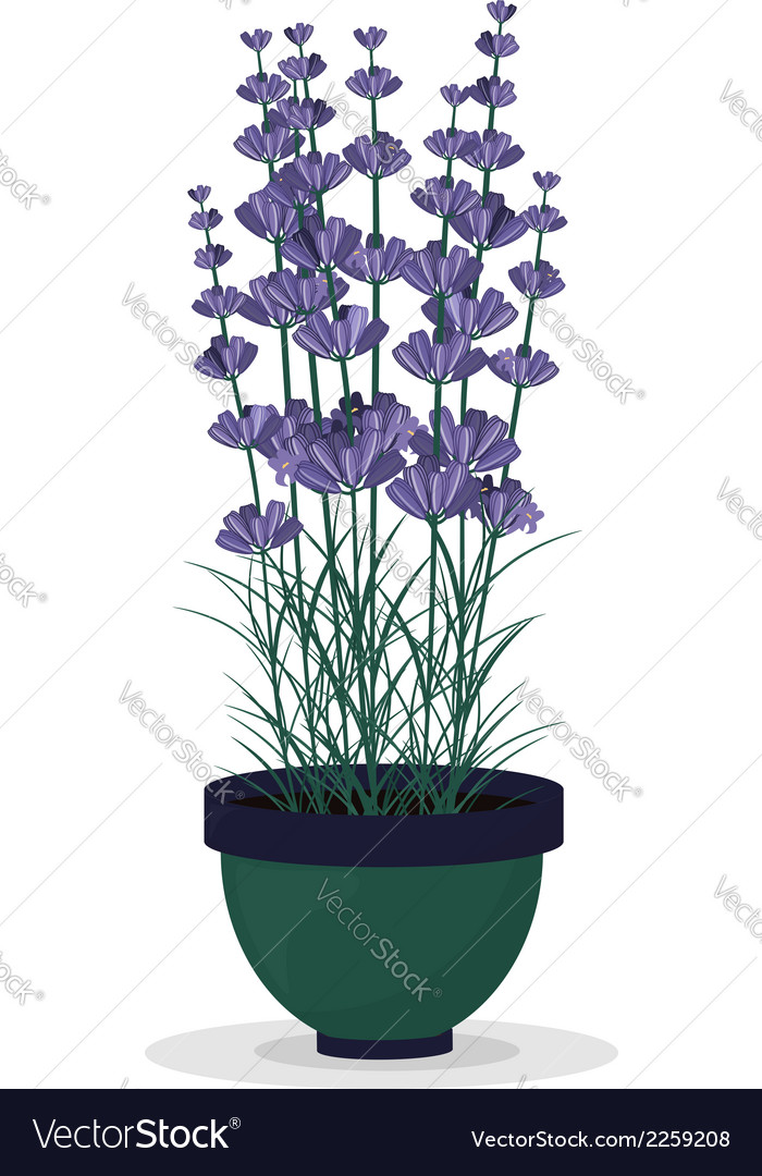 Lavender in a pot isolated on white background vector | Price: 1 Credit (USD $1)