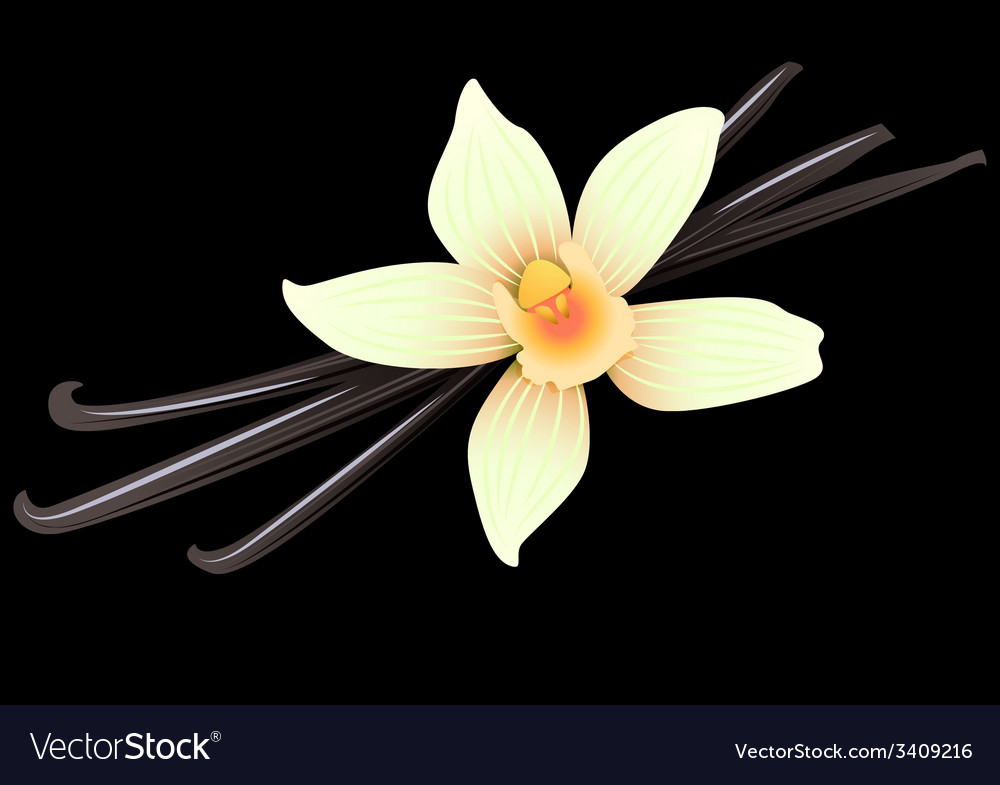 Vanilla pods and flower vector | Price: 1 Credit (USD $1)