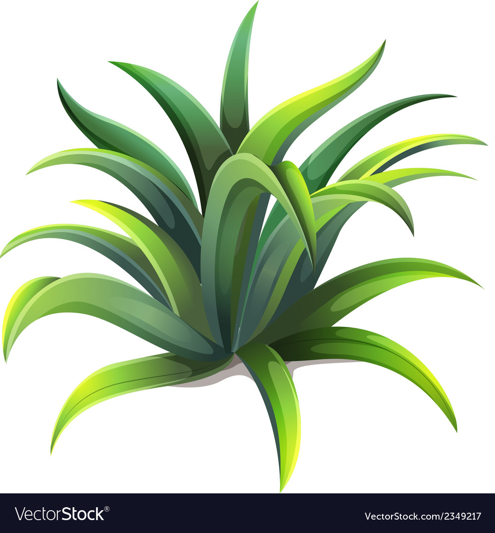 A dwarf agave plant vector | Price: 1 Credit (USD $1)