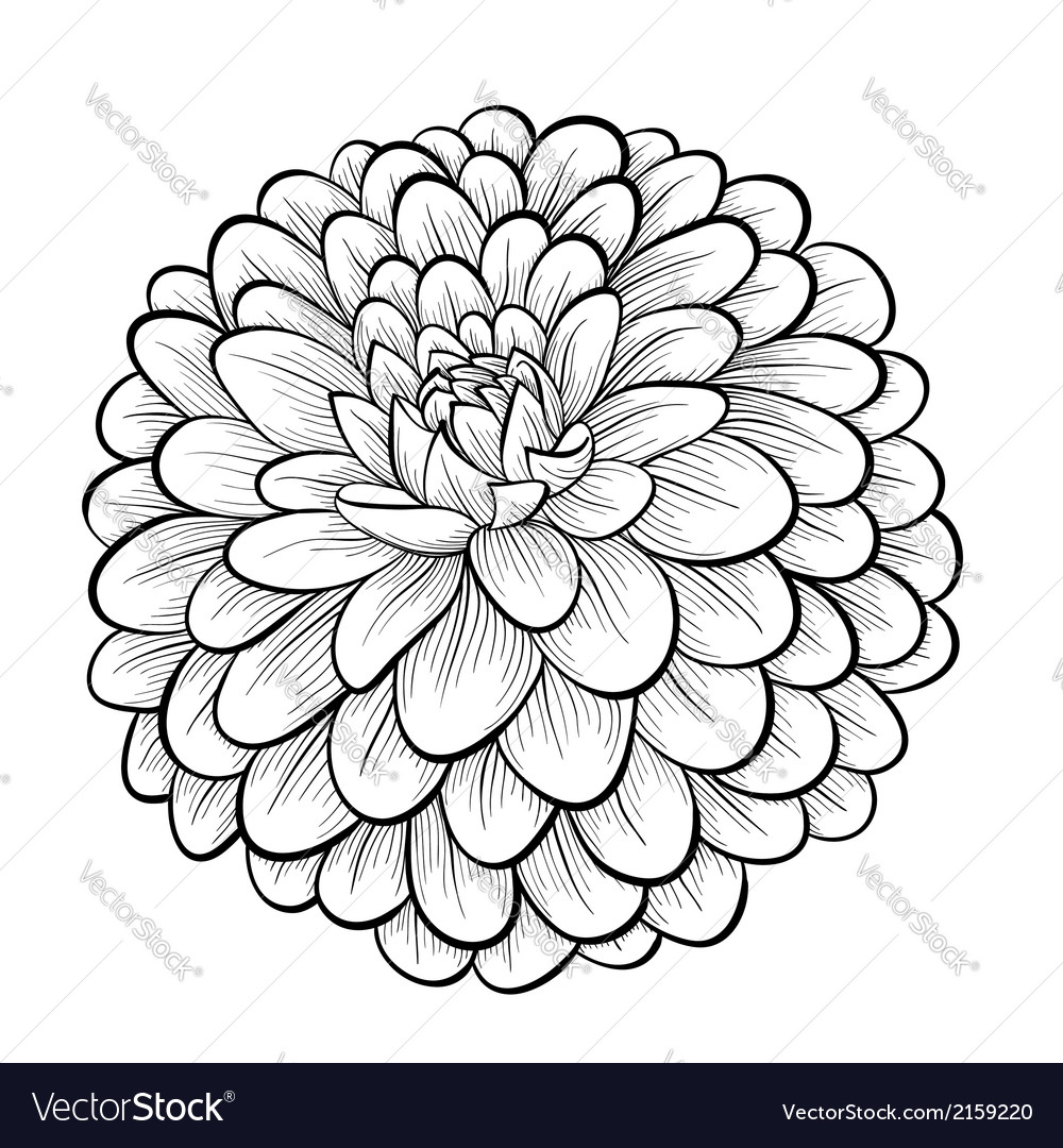 Black and white dahlia flower isolated vector | Price: 1 Credit (USD $1)