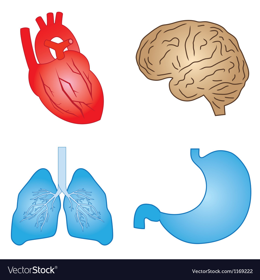 Human organs vector | Price: 1 Credit (USD $1)