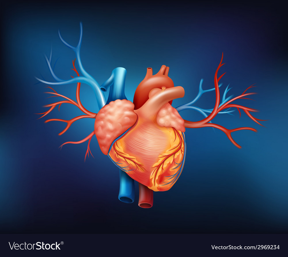 A human heart vector | Price: 1 Credit (USD $1)