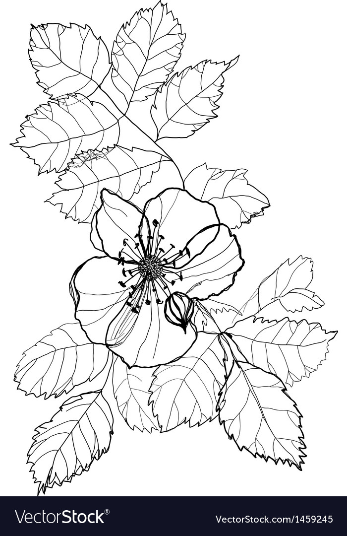 Dog rose vector | Price: 1 Credit (USD $1)