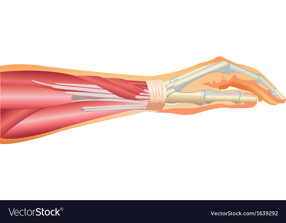 Arm muscles and tendons vector | Price: 1 Credit (USD $1)