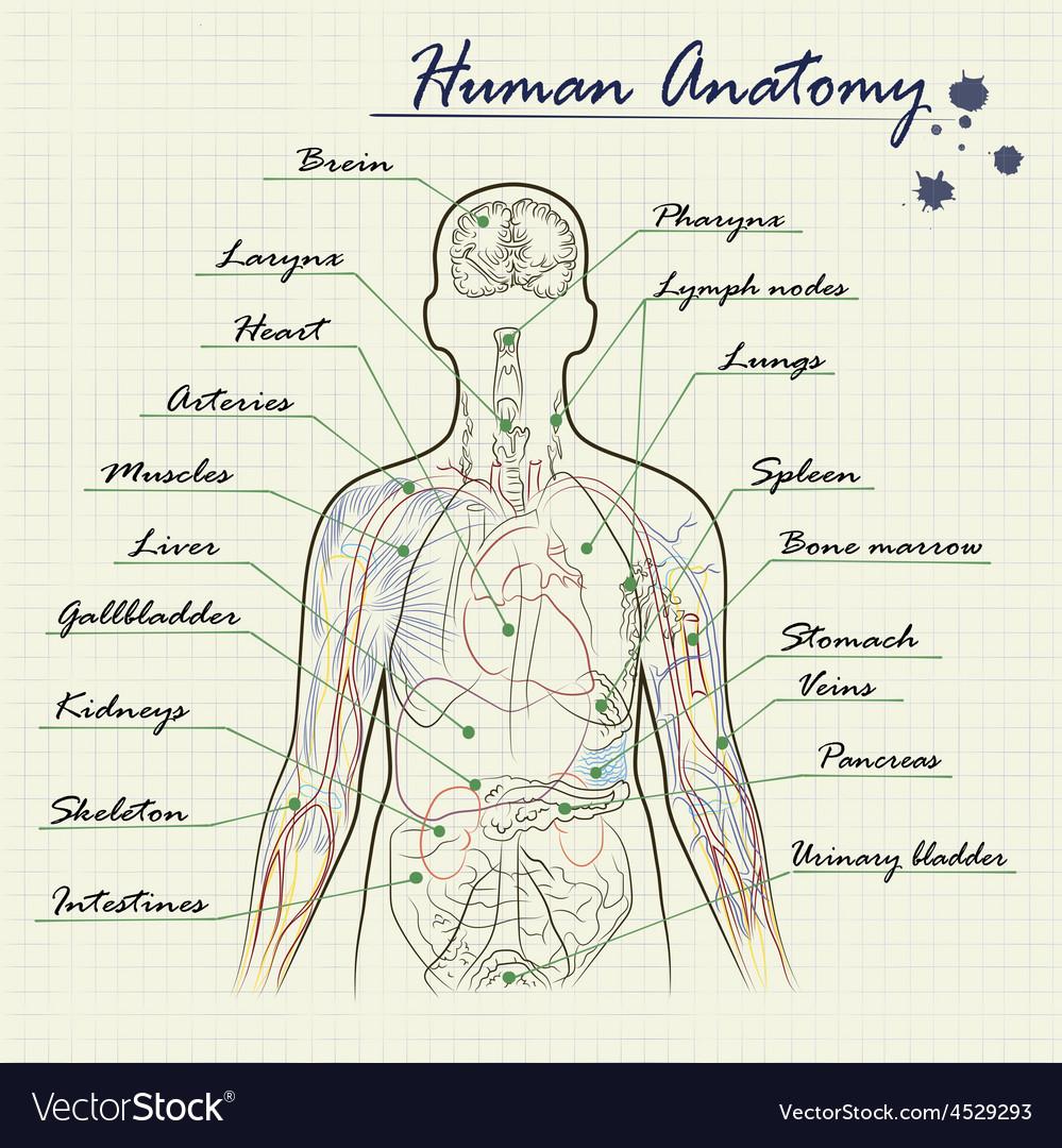 Human anatomy diagram vector | Price: 1 Credit (USD $1)