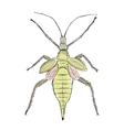 Heteropteryx insect sketch for your design vector