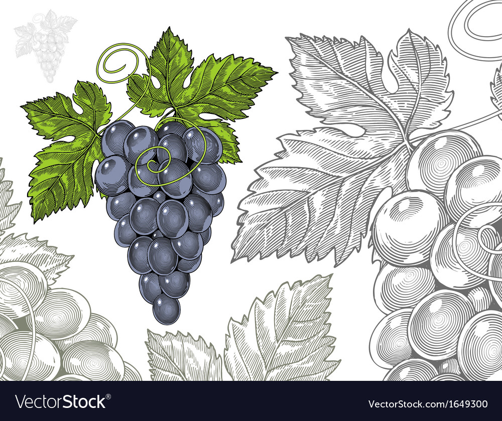 Grapes in vintage engraved style vector | Price: 1 Credit (USD $1)