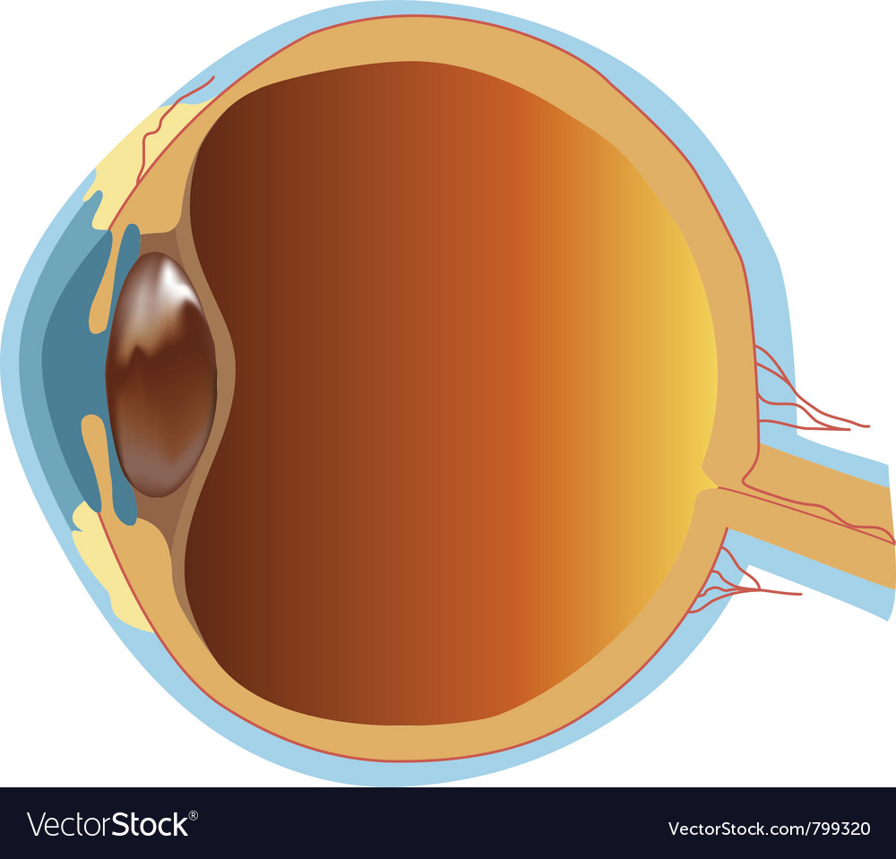 Structure of human eye section vector | Price: 1 Credit (USD $1)