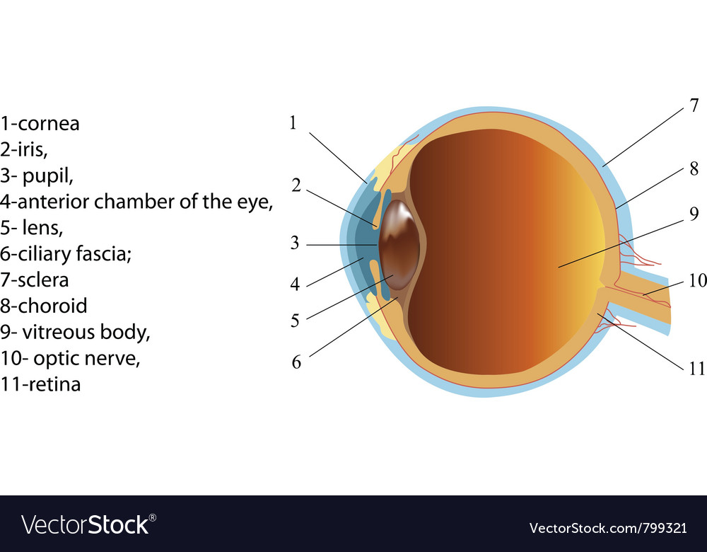 Structure of human eye section poster vector | Price: 1 Credit (USD $1)