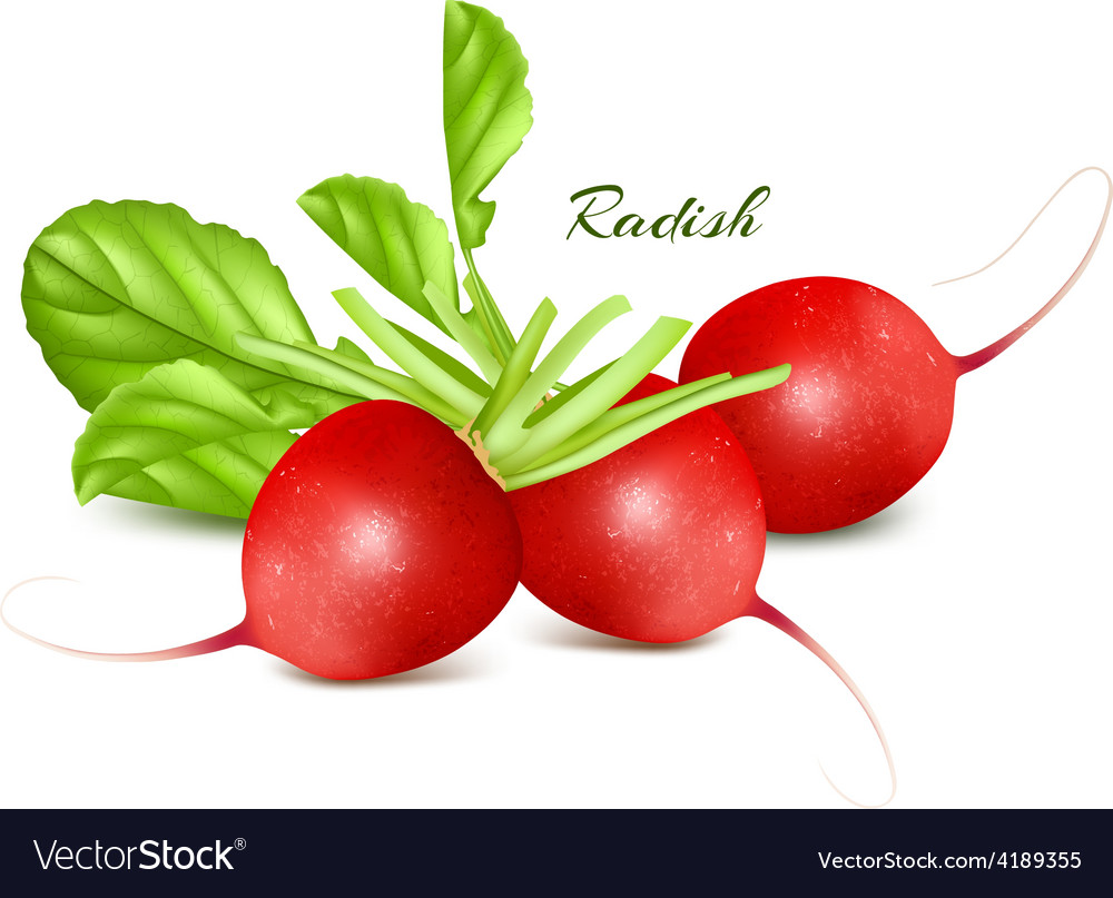 Fresh radishes vector | Price: 3 Credit (USD $3)