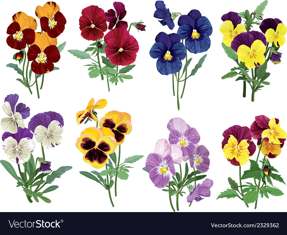 Set of multicolored pansies vector | Price: 1 Credit (USD $1)