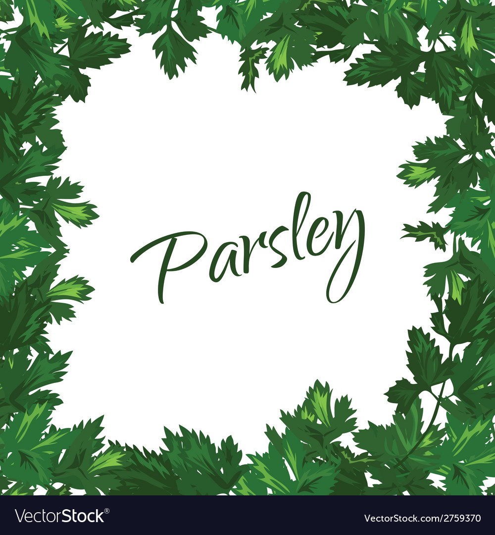 Parsley on a white background green frame of vector | Price: 1 Credit (USD $1)