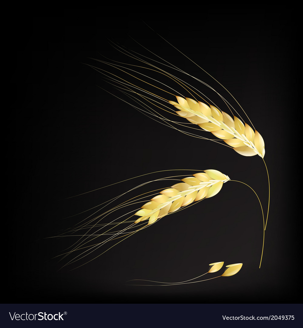 Ears of barley vector | Price: 1 Credit (USD $1)