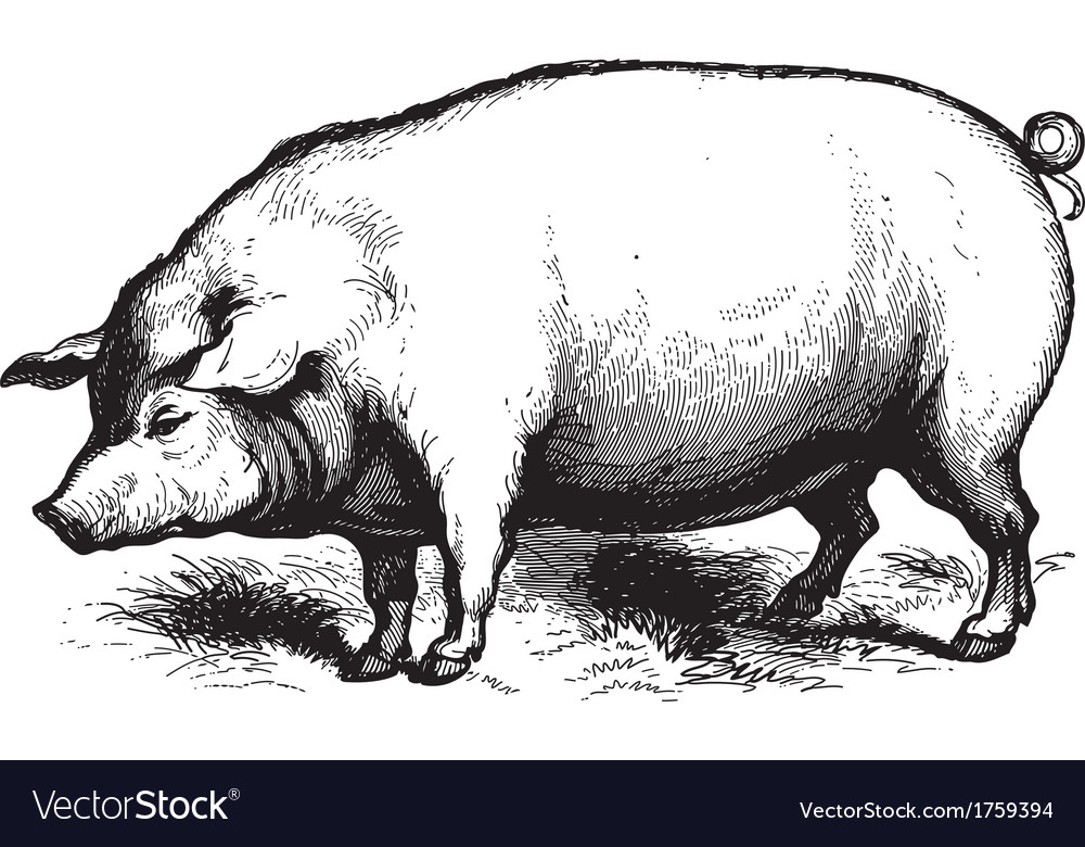 Swine vector | Price: 1 Credit (USD $1)