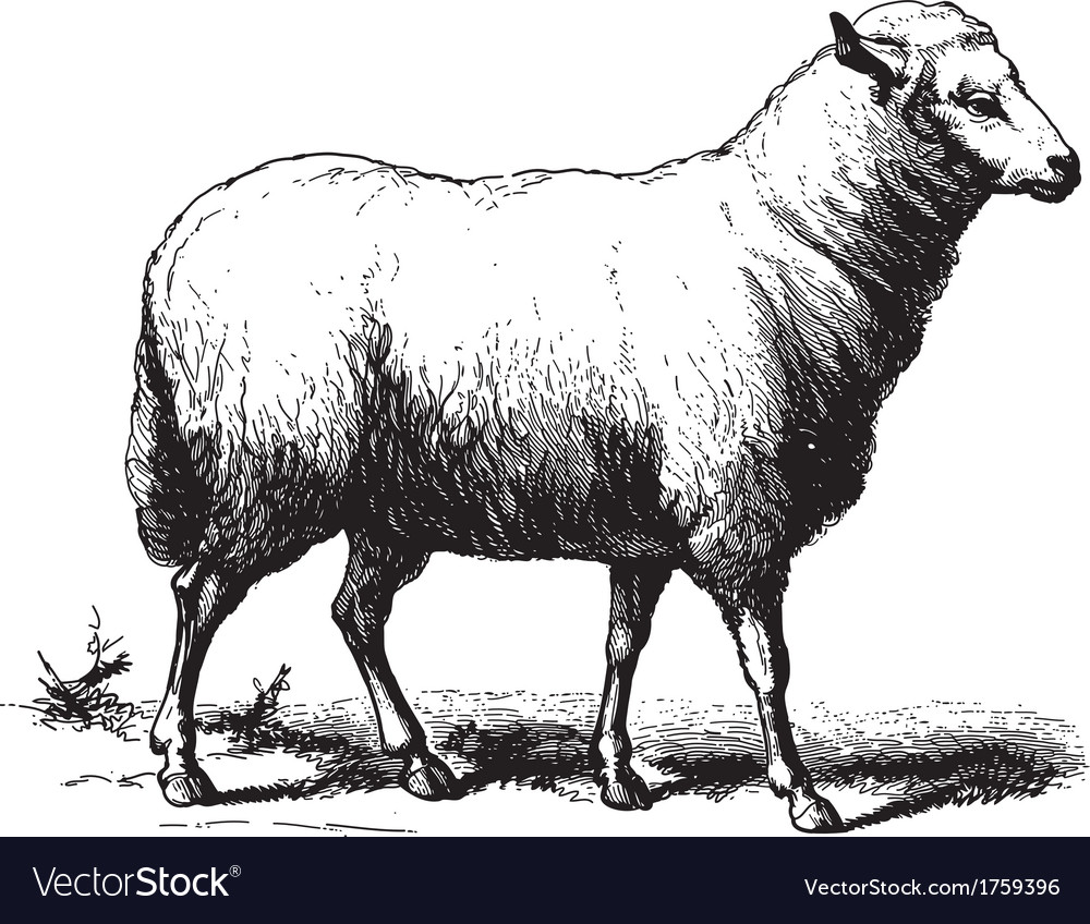 Sheep vector | Price: 1 Credit (USD $1)