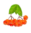 Rowan berries and leaves vector