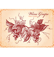 Wine grape vector