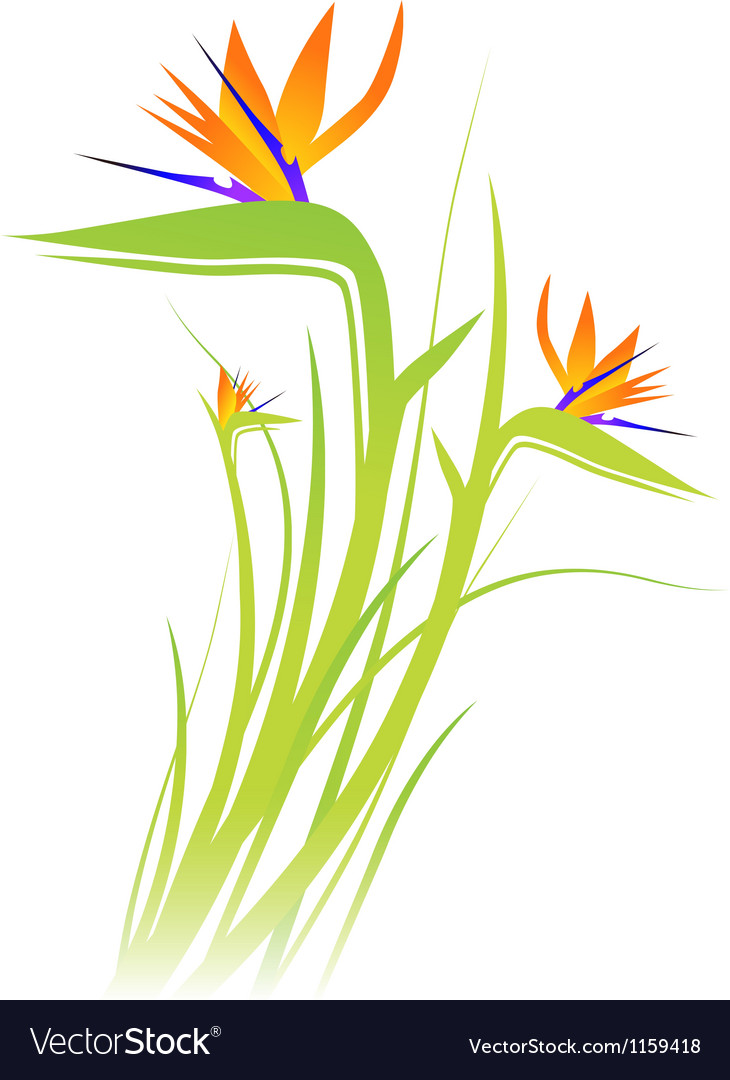 Bird of paradise flower strelitzia vector | Price: 1 Credit (USD $1)