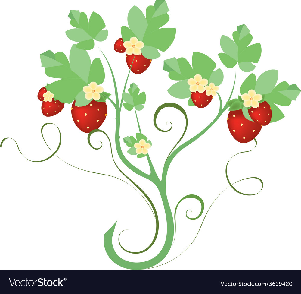 Strawberry plant with flowers vector | Price: 1 Credit (USD $1)