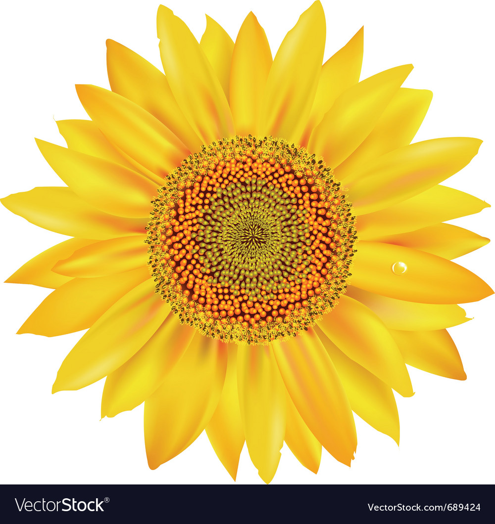 Sunflower petals vector | Price: 1 Credit (USD $1)