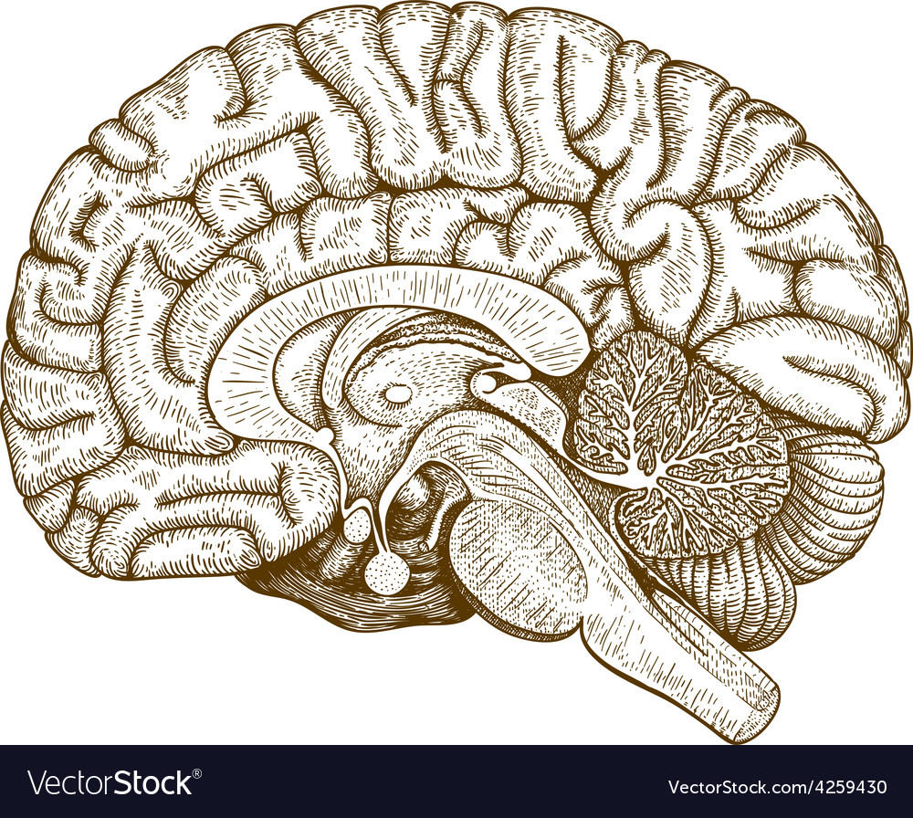 Engraving human brain vector | Price: 1 Credit (USD $1)
