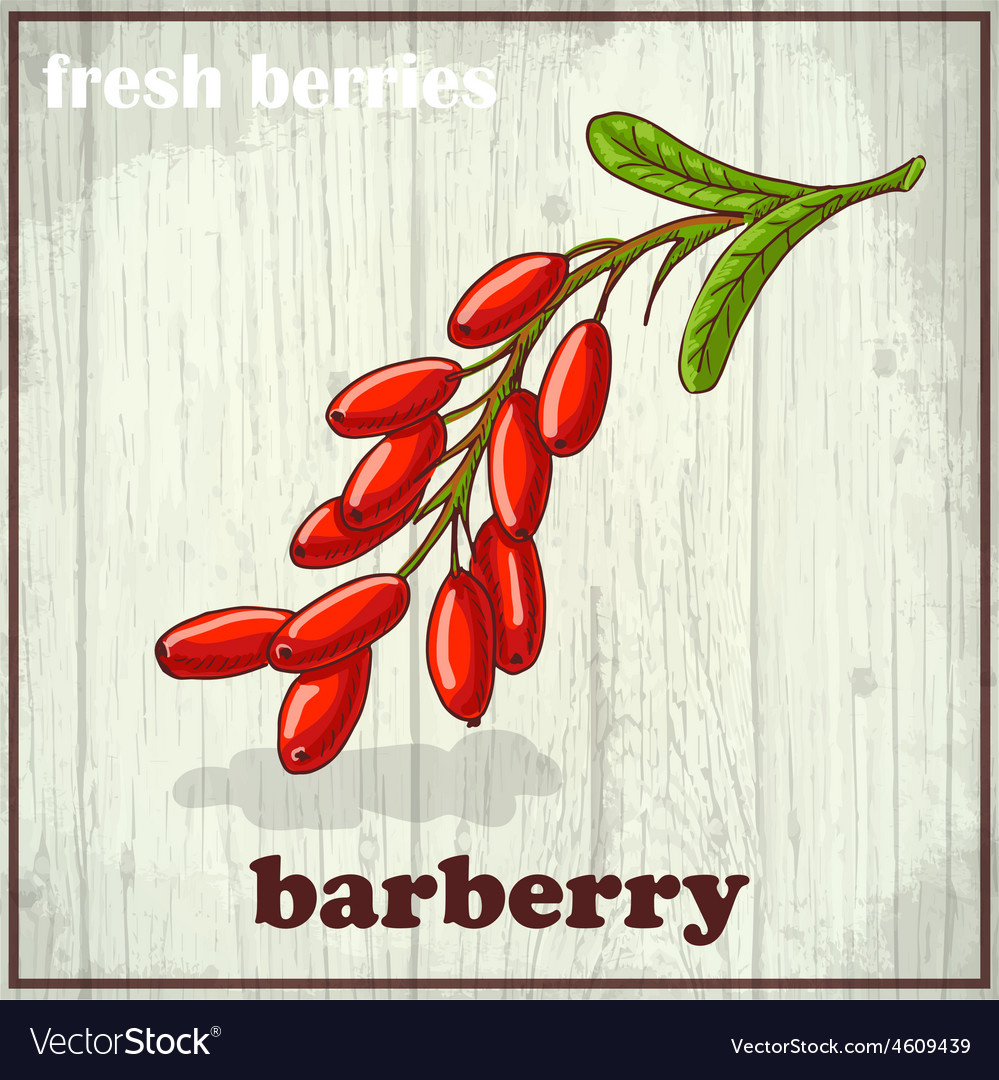 Hand drawing of barberry fresh vector | Price: 1 Credit (USD $1)