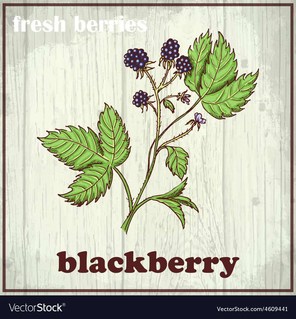 Hand drawing of blackberry fresh vector | Price: 1 Credit (USD $1)