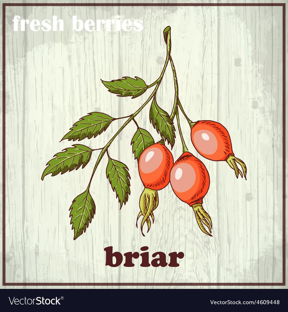 Hand drawing of briar fresh berries vector | Price: 1 Credit (USD $1)