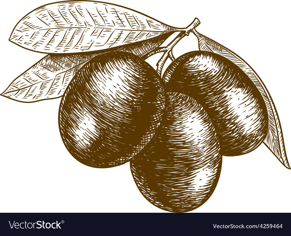 Engraving olives vector | Price: 1 Credit (USD $1)