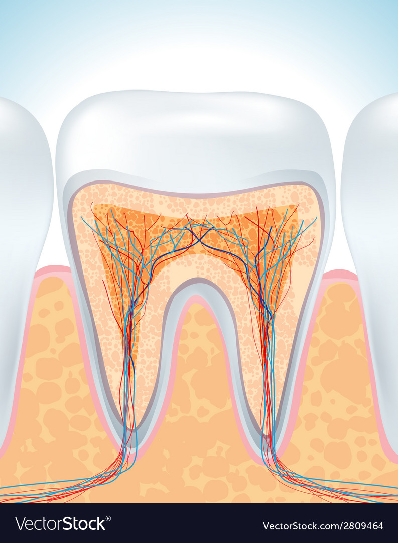Tooth root vector | Price: 1 Credit (USD $1)