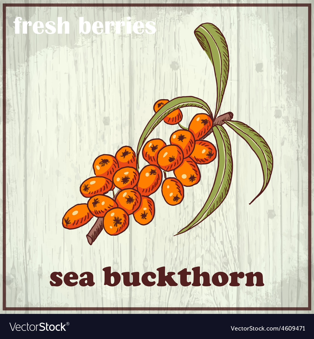 Hand drawing of sea buckthorn fresh vector | Price: 1 Credit (USD $1)