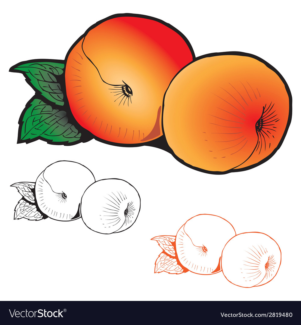 Two peaches with leaves of different styles vector | Price: 1 Credit (USD $1)