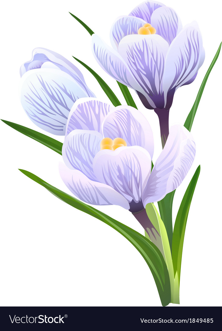 Flowers crocuses vector | Price: 1 Credit (USD $1)