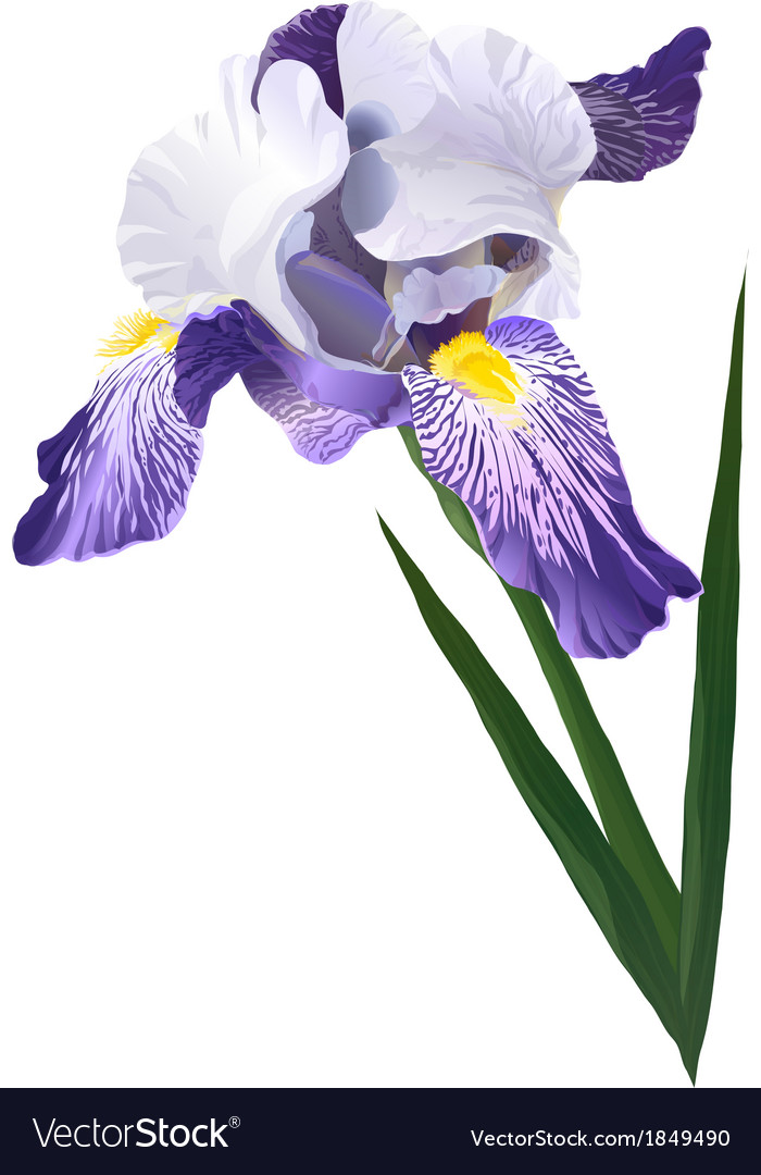 Flower iris vector | Price: 1 Credit (USD $1)