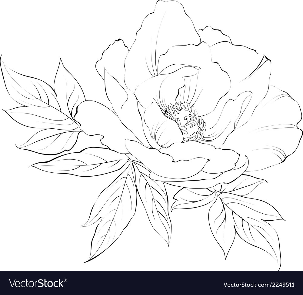 Ink painting of peony isolated on white vector | Price: 1 Credit (USD $1)