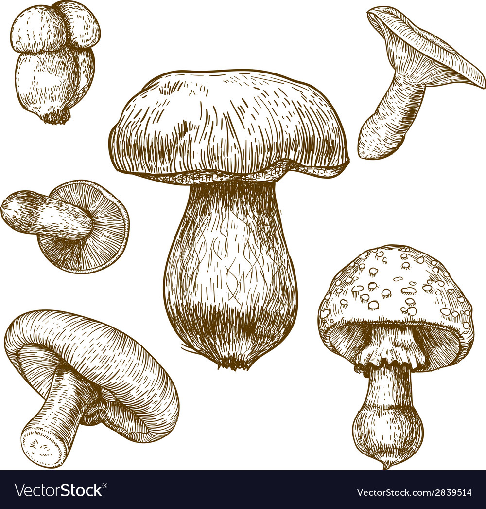 Engraving mushrooms vector | Price: 1 Credit (USD $1)