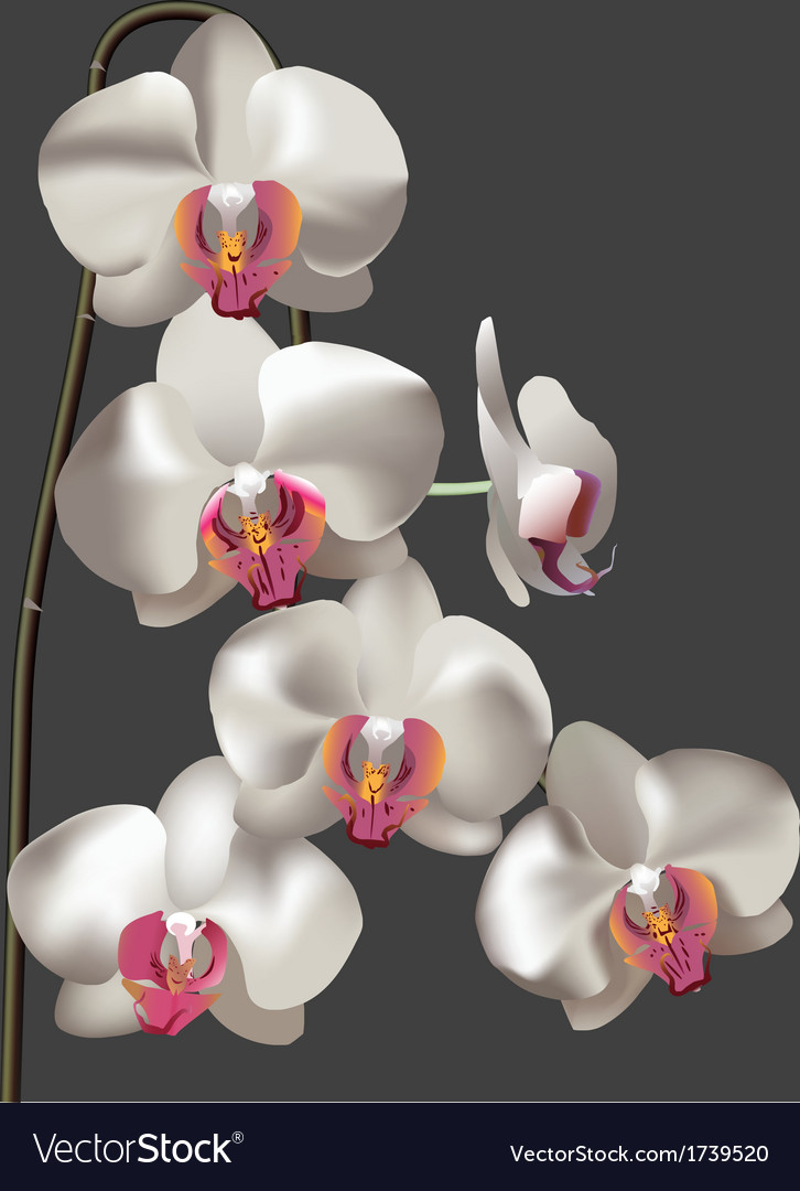 White flower moth orchid vector | Price: 1 Credit (USD $1)