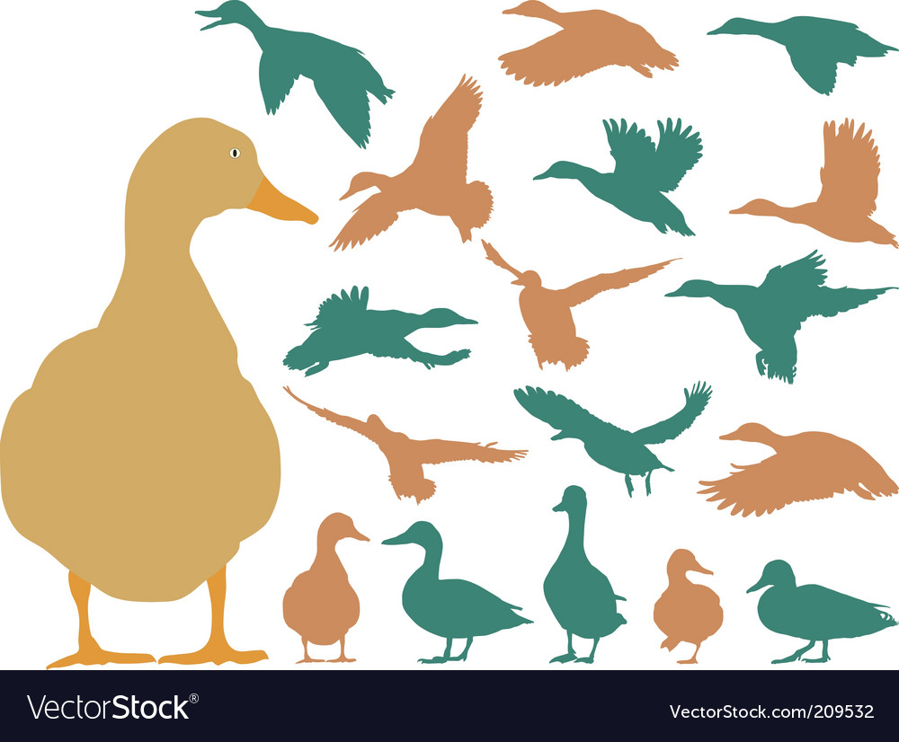 Mallard duck vector | Price: 1 Credit (USD $1)