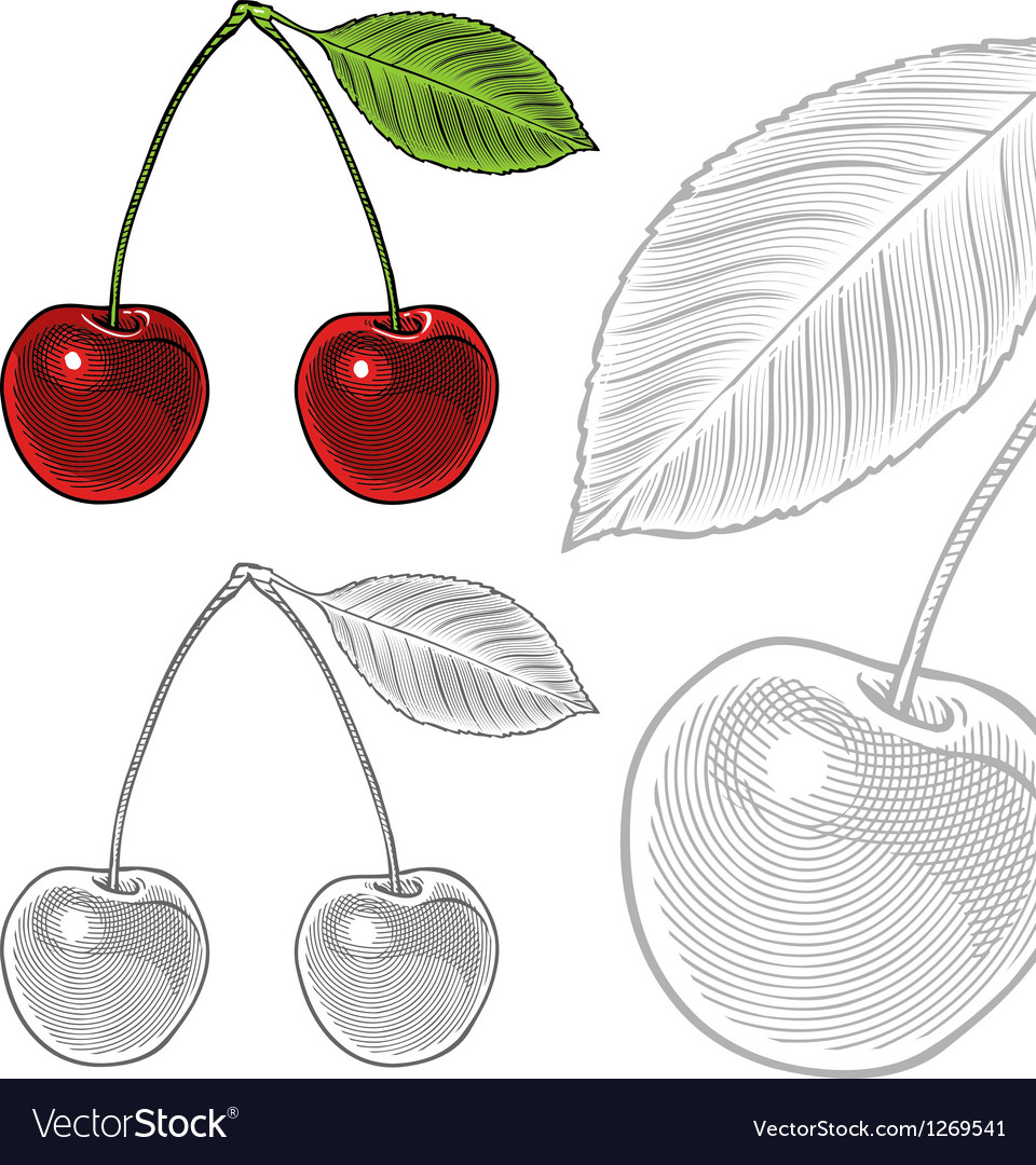Sour cherry with leaf in vintage engraving style vector | Price: 3 Credit (USD $3)