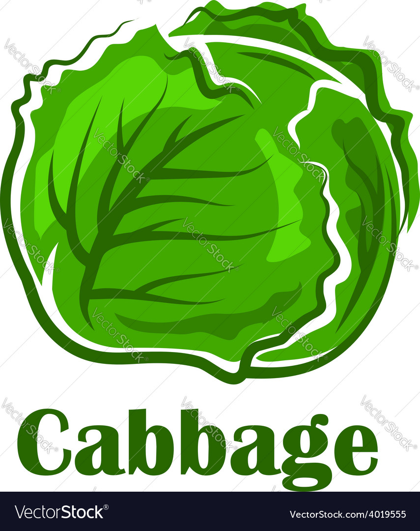 Cabbage vegetable with crunchy green leaves vector | Price: 1 Credit (USD $1)