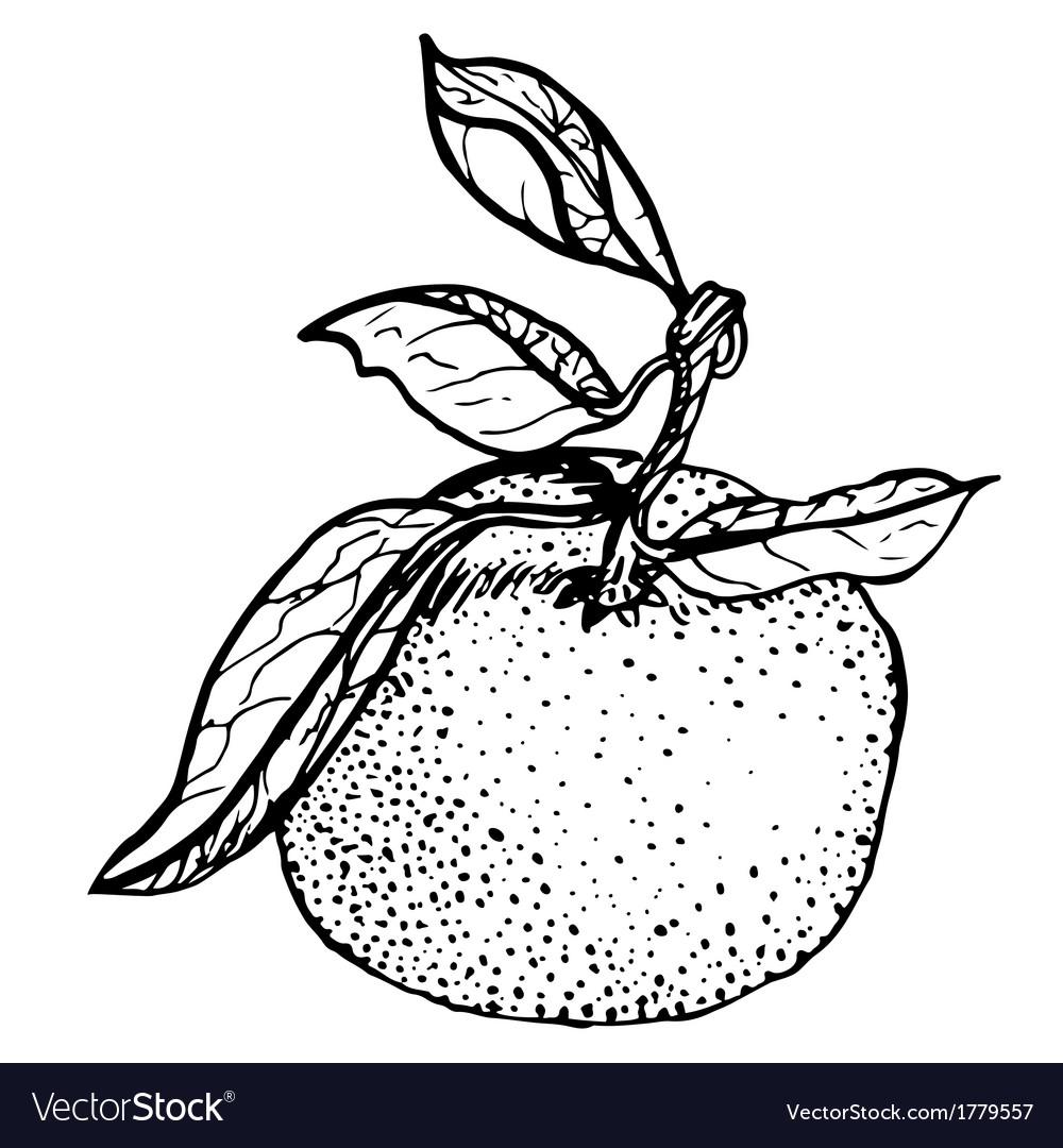 Tangerine sketch vector | Price: 1 Credit (USD $1)
