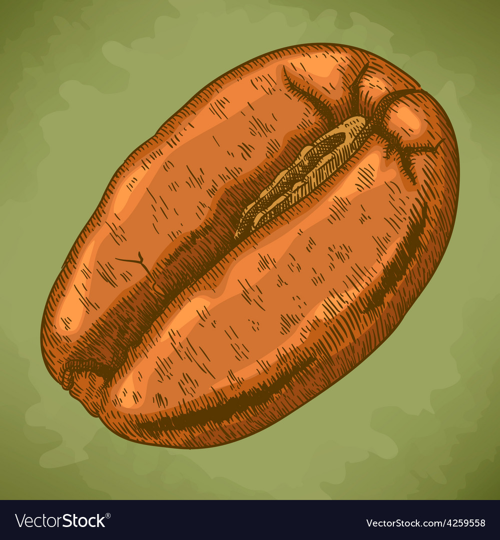 Engraving coffee bean retro vector | Price: 1 Credit (USD $1)