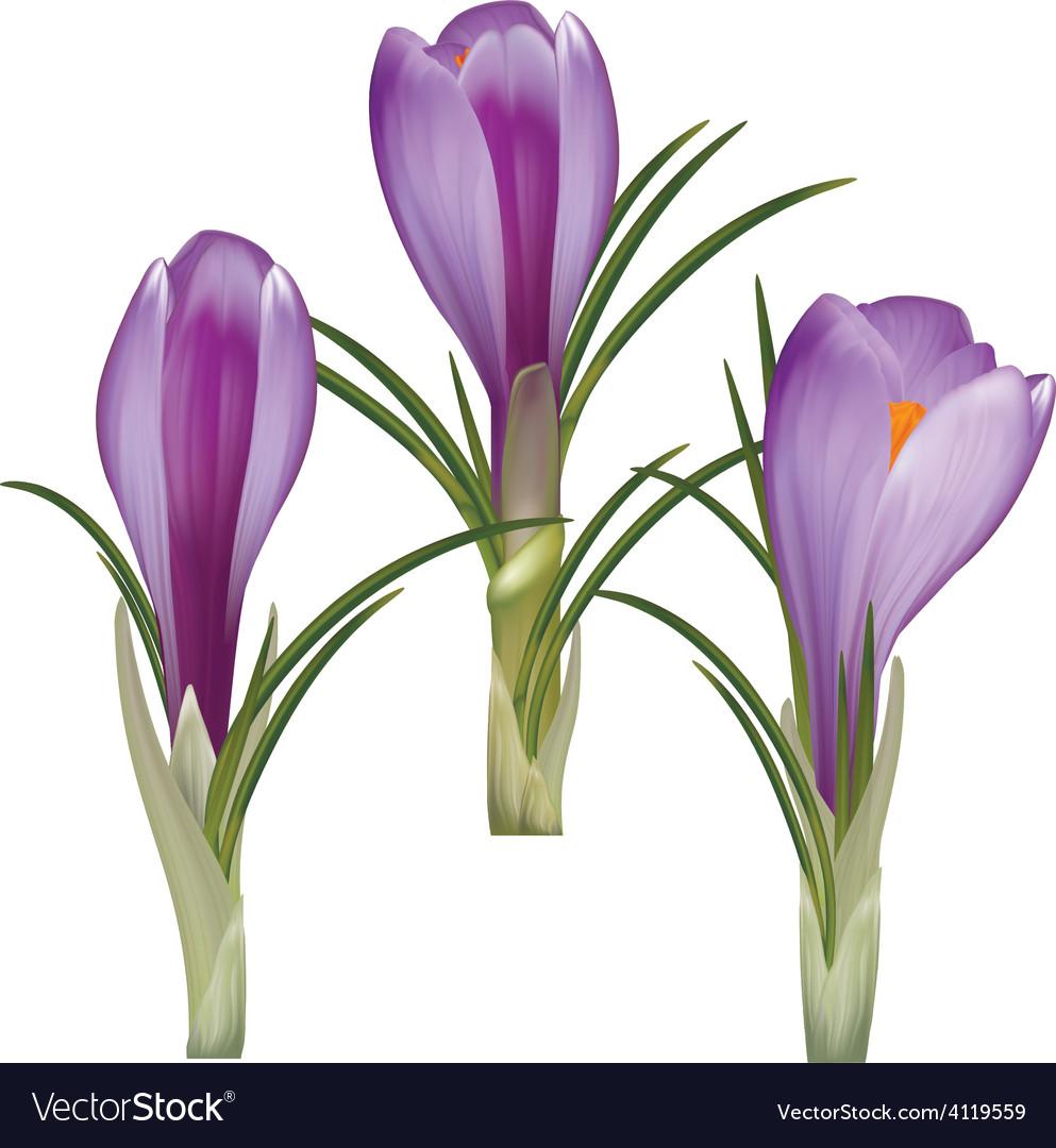 Crocus flower vector | Price: 1 Credit (USD $1)
