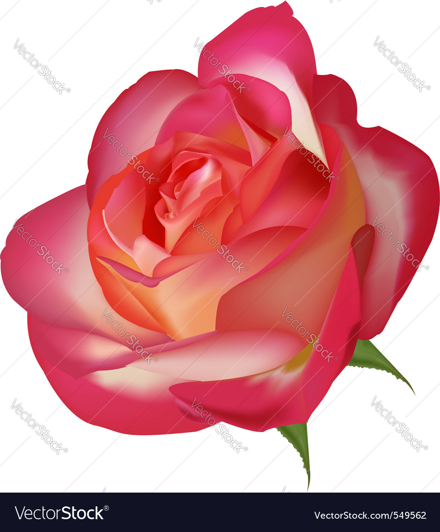 Beautiful tea rose on a white vector | Price: 1 Credit (USD $1)