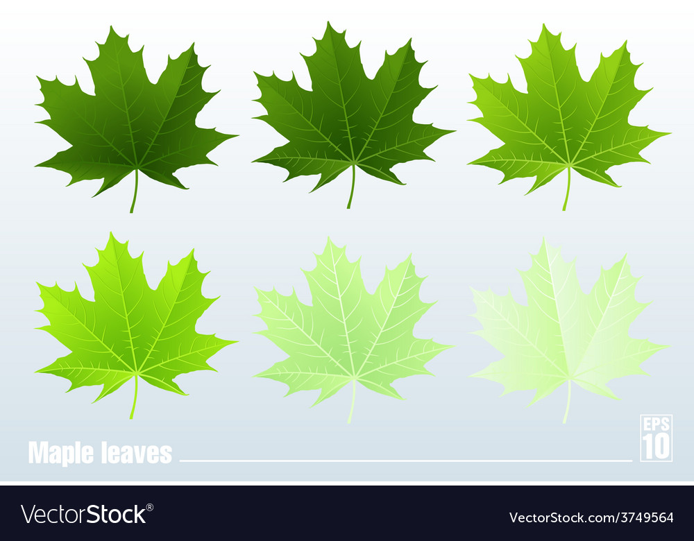 Green maple leaf  set vector | Price: 1 Credit (USD $1)