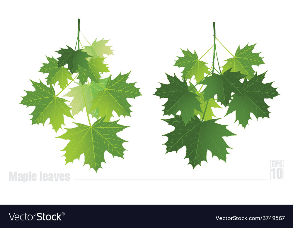 Maple branch with green leaves on a white vector | Price: 1 Credit (USD $1)
