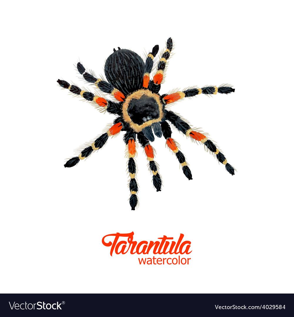 Watercolor spider tarantula vector | Price: 1 Credit (USD $1)