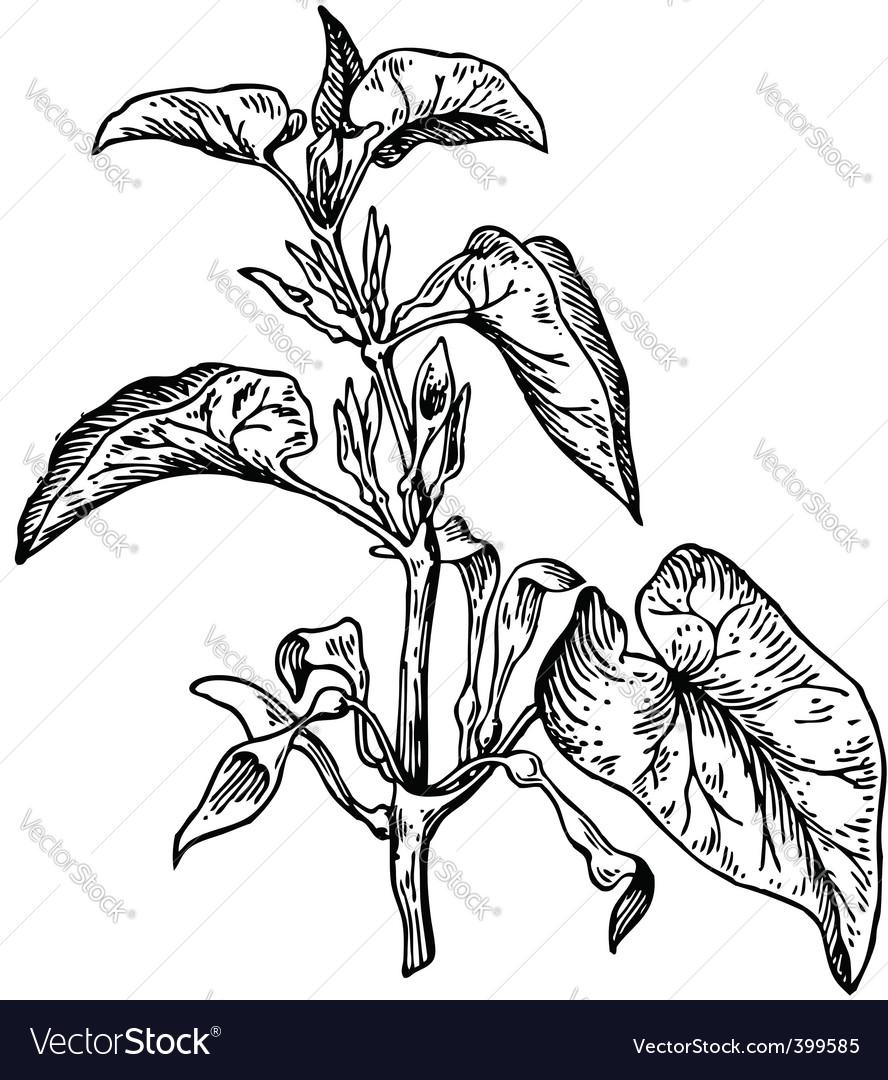 Plant aristolochia clematitis vector