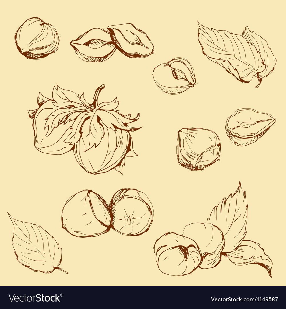 Set of highly detailed hand drawn hazelnuts vector | Price: 1 Credit (USD $1)